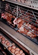 Putten, 17-11-1998.Legbatterij. Moderne legbatterij met 40.000 leghennen. De eieren zijn voornamelijk voor de export en worden tot in Hong Kong gegeten. In deze moderne legbatterij wordt de mest gedroogd en tot korrels verwerkt. De hiervoor benodigde energie wordt opgewekt met warmtekrachtkoppeling uit de  warmte van de kippen..Foto: (c) Michiel Wijnbergh/Hollandse Hoogte
