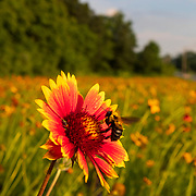 A Carpenter bee lands on a flower in a pollinator garden at the Wabash Valley Collage in Mount Carmel, Illinois. Nathan Lambrecht/Journal Communications