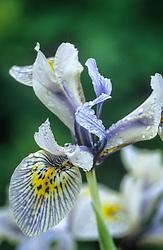 Iris 'Katharine Hodgkin'