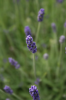 close up view of lavender flowers