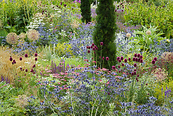 Mixed perennial and grass borders at Broughton Grange. Planting includes Eryngium x zabelii, Allium sphaerocephalon, Stachys byzantina and Taxus baccata 'Fastigiata'. Design: Tom Stuart-Smith