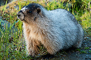 A marmot at National Shrine of St. Therese, 22 miles north of downtown Juneau, in Tongass National Forest, Alaska, USA. A stone causeway from shore reaches this natural-stone chapel nestled amid a tranquil wooded island. This ministry of the Roman Catholic Diocese of Juneau is dedicated to St. Thérèse of Lisieux, the patron saint of Alaska, missionaries, and the Diocese of Juneau. She wrote that what really mattered in life was not our great deeds, but our great love.