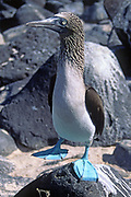 Blue Footed Booby shows off it's blue feet to attract a female mate.(Sula nebouxi).Galapagos Islands