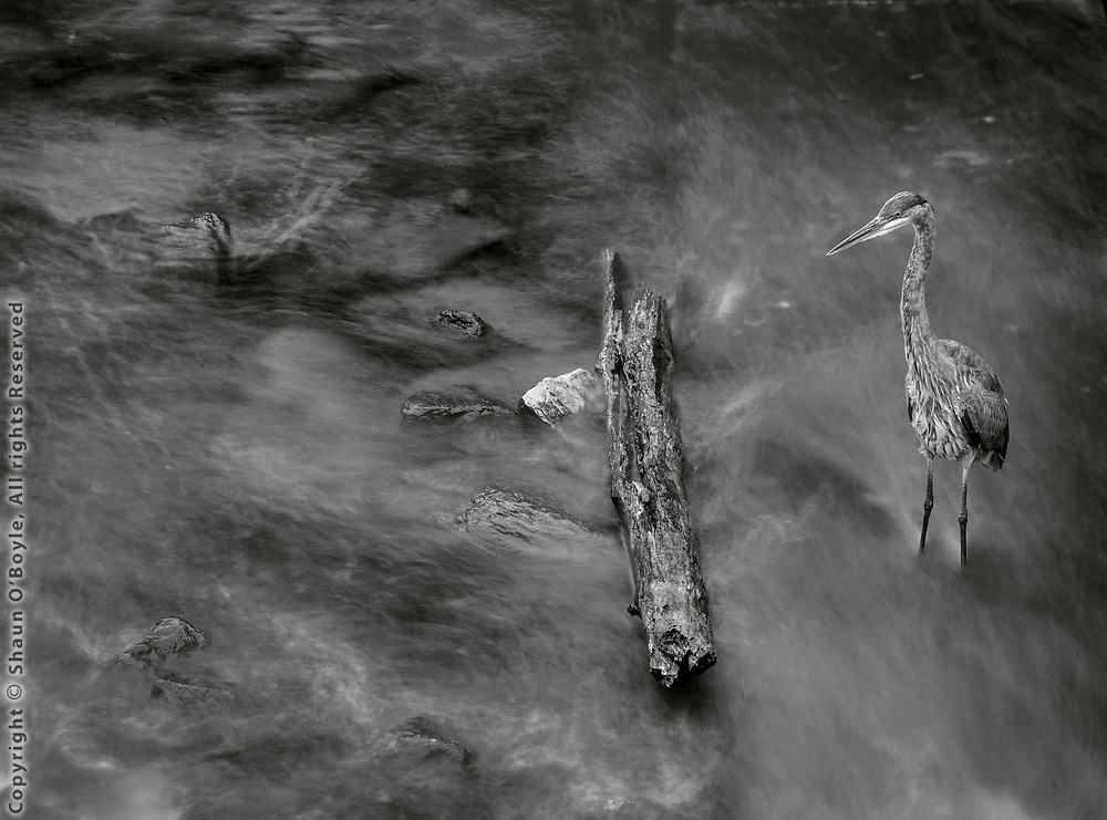 Heron in River, Onota Lake Dam, West Branch, Pittsfield, MA
