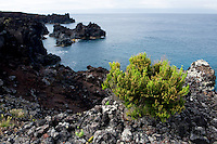 Tree heath (Erica Arborea) Coastal plantlife, Pico, Azores, Portugal