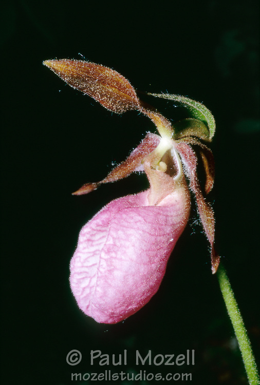 cyprideium acaule, Pink Ladies Slipper