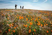 at the Antelope Valley Poppy Reserver April 11,  2017  Photo by David Sprague