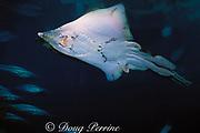 big skate, Raja binoculata (c), mature male with large claspers, Monterey Bay Aquarium, California
