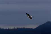 A bald eagle (Haliaeetus leucocephalus), soaring against a dark, stormy sky, hunts for food in the Skagit Valley of Washington state.