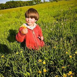 A boy (age 6) picks buttercups in a hay field on a farm in Ipswich, Massachusetts.