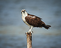 Osprey perched on a post.  Biolab Road, Merritt Island National Wildlife Refuge. Image taken with a Nikon D4 camera and 600 mm f/4 VR lens + 2.0x TCEII teleconverter (ISO 800, 1200 mm, f/8, 1/2500 sec).
