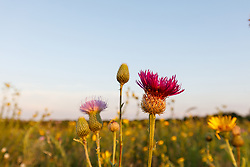 Purple thistle and assorted wildflowers, Blackland Prairie, High Point Park and Wildflower Preserve, Farmersville, Texas, USA.