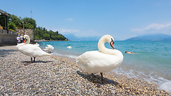 Geese on Sirmione by Lake Garda, Italy. 20/06/14. Photo by Andrew Tallon
