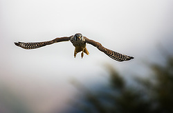American Kestrel Falco sparverius) in Terra del Fuego, Argentina