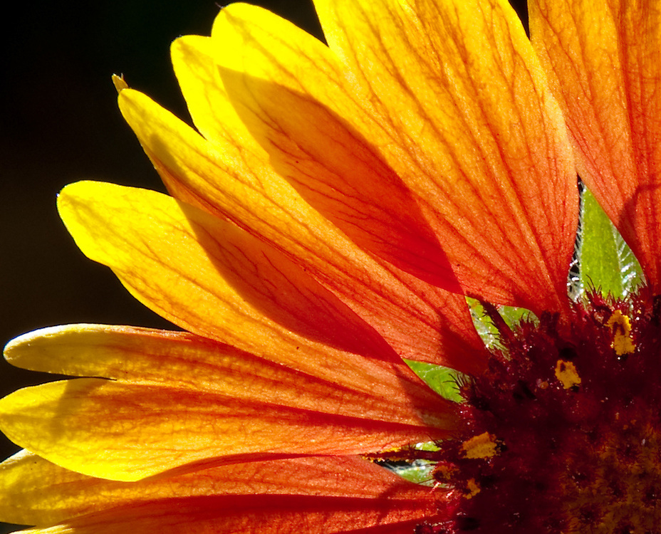 Experimenting with backlighting of flowers in my sausalito, california garden. This is an abstract closeup of a daisy type of flower showing the translucent leaves lit by the sun behind it.