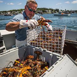 Captain Greg Carter sorts lobsters at the Vinalhaven Fishermen's Co-op in Vinalhaven, Maine.