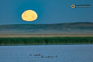 Canada goose family as full moon sets over prairie pond in Medicine Lake National Wildlife Refuge, Montana, USA