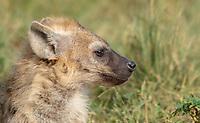 Juvenile Spotted Hyena, Crocuta crocuta, in the Trans Mara area west of Maasi Mara National Reserve, Kenya