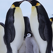 Emperor Penguin adults and chick. Riiser Larsen Ice Shelf, Antarctica