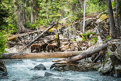 Black Bear cubs making good use of the bear crossing for Cascade Creek in Grand Teton National Park. <br /> <br /> Attention:  This photo was taken in a dark forest which mandated compromise, there is limited near to far focus because of the use of a telephoto lens so and there wasn't very much light in the dark forest so I had to use a very high ISO.   To mitigate the problems I artistically blurred the background to remove noise and it was out of depth of field anyway. Had the subject not been so cool, I likely wouldn't have gone to the effort of an artistic rendering. <br /> <br /> A cute photo but just be aware before you buy.