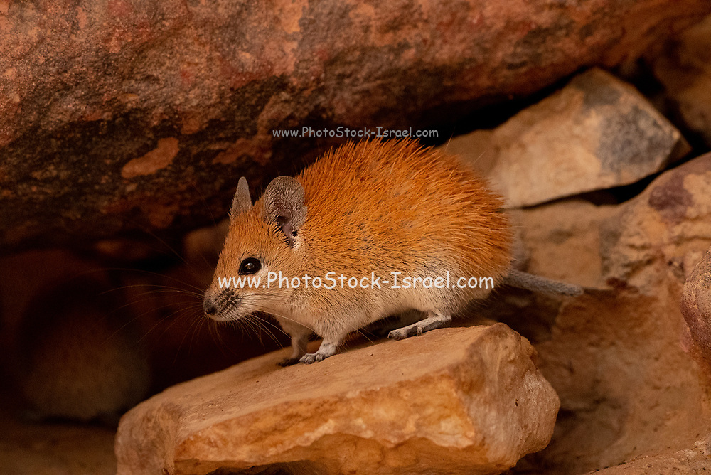 Golden Spiny Mouse (Acomys russatus)  It is omnivorous and feeds on seeds, desert plants, snails, and insects. Living in desert regions, it is a xeric animal that obtains water from the plants that it eats and produces very concentrated urine in order to conserve water. A. russatus is naturally nocturnal, but adapts to being diurnal when it shares a habitat with A. cahirinus. Photographed in Israel in October