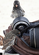 Female medium ground finches (Geospiza fortis) investigate a camera bag. This species is endemic to Galapagos. San Cristóbal, Galapagos, Ecuador.