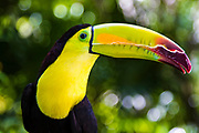 The keel-billed toucan is one of the more colorful birds found along Riviera Maya.