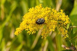 Dark Flower Scarab (Euphoria sepulcralis)