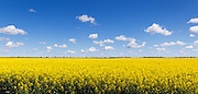 Flowering canola crop in farm paddock under blue sky and cumulus clouds at Lockhart, New South Wales, Australia. <br /> <br /> Editions:- Open Edition Print / Stock Image