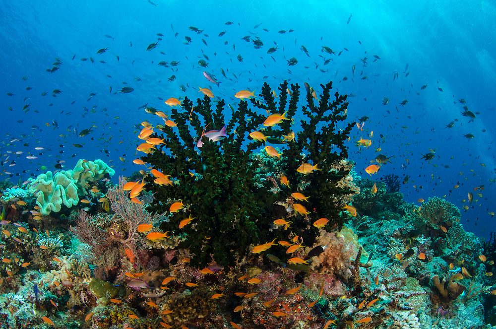 Green Tube Coral (Tubastrea micrantha) and Scalefin Anthias (Pseudanthias squamipinnis)<br /> Coral Reef<br /> Fiji. South Pacific