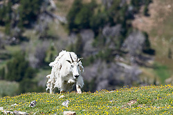 """Old Mountain Goat. This goat reminds me of me in the morning; all dishevelled struggling to not slip down the slippery slope of """"over the hill"""".  The struggle is real!"""