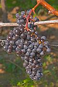 Ripe grape bunches of Cabernet Franc planted at the entrance - Chateau Grand Mayne, Saint Emilion, Bordeaux