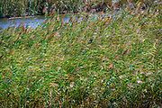 Reeds grow in the swamp caused by the Evros River, Thrace, Greece