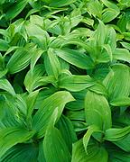 Green leaves of False Hellebore or Indian Poke, Veratrum viride, Thunder Rocks Ridge, Allegany State Park, New York.