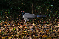 The coral-billed ground cuckoo (Carpococcyx renauldi), also known as Renauld's ground cuckoo, is a large terrestrial species of cuckoo in the family Cuculidae.