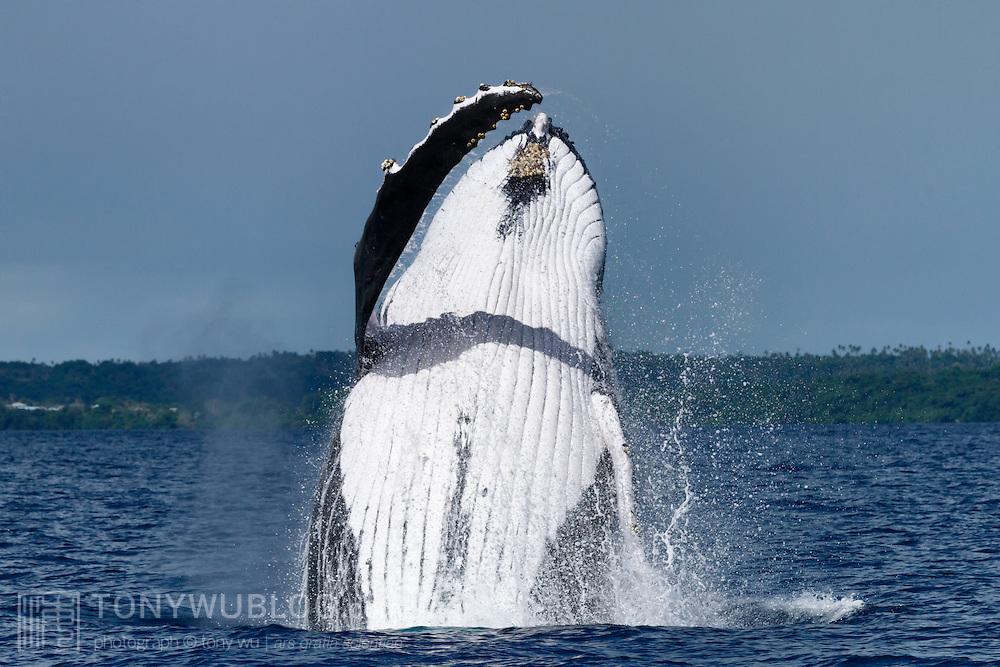 Adult female humpback whale (Megaptera novaeangliae) breaching. Photographed in Vava'u, Kingdom of Tonga.