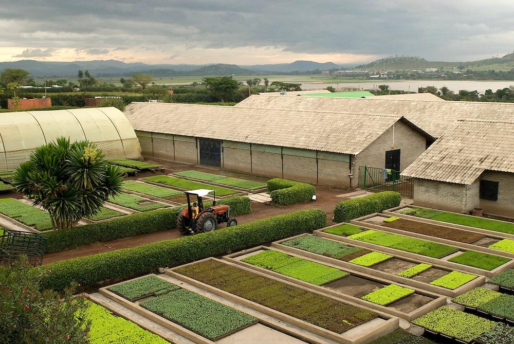En Éthiopie depuis 20 ans, l'agriculteur hollandais Gert Van Putten installé à une heure au sud d'Addis Abeba, emploie près de 600 éthiopiens. Ses activités principales sont l'élevage de bétail et de poules, la production d'oeufs, d'aubergines, de salades, d'oignons, d'alfalfa etc. L'eau qu'il utilise provient du Lac Ziway et de puits creusés sur ses terres. Éthiopie août 2011.
