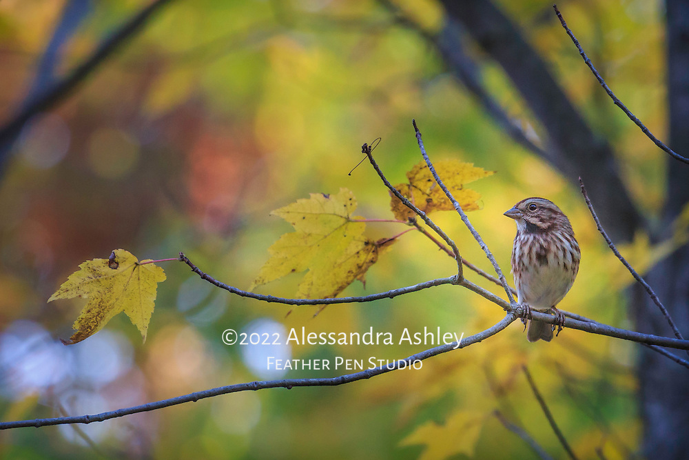Song sparrow perched in deciduous tree in late autumn amid yellow leaves.