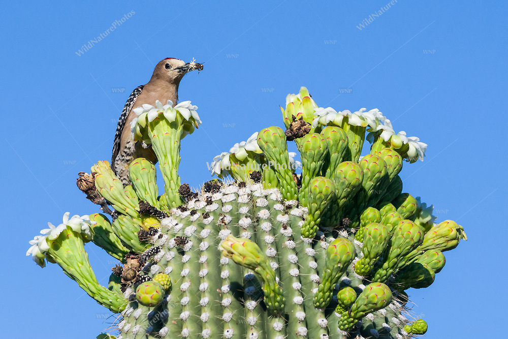 A male Gila Woodpecker (Melanerpes uropygialis) perched on the flower buds of a Saguaro (Carnegiea gigantea) with a honey bee that he caught, that he will take to feed the young in the nest. Arizona