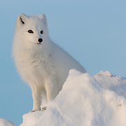 Arctic fox (Vulpes lagopus) near Churchill, Manitoba, Canada.
