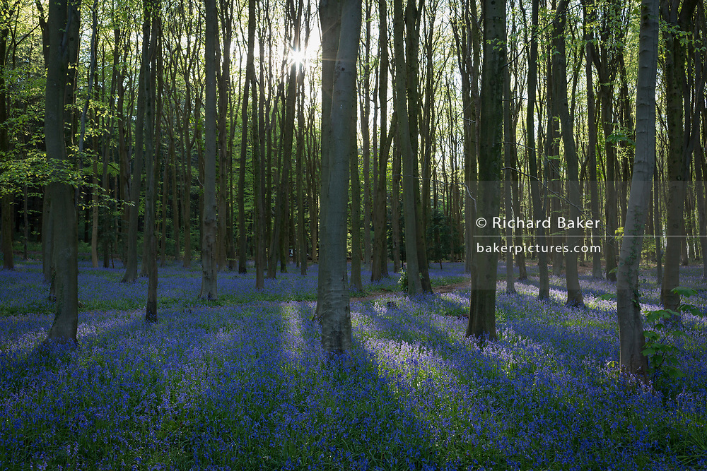 The idyllic beauty and peace of a bluebell wood, on 5th May 2018, in North Somerset, England.