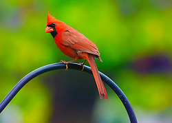 A Male Northern Cardinal Perched on a Metal Pole - Side Angle Pose