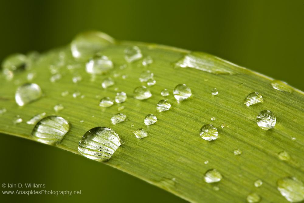 Water Drops on Leaf, Tasmania