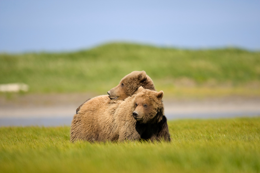 USA, Alaska, Katmai National Park, Brown Bears (Ursus arctos) in grassy meadow along Hallo Bay