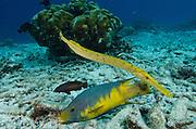 Spanish Hogfish (Bodianus rufus) & Trumpetfish, (Aulostomus maculatus)<br /> BONAIRE, Netherlands Antilles, Caribbean<br /> HABITAT & DISTRIBUTION: Reefs<br /> Florida, Bahamas, Caribbean, Gulf of Mexico, Bermuda & south to Brazil.