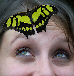 © Licensed to London News Pictures. 25/01/2012. Woking, UK.  RHS Garden worker Samantha Bevington poses with an Malachite butterfly  at a photo call for 'Butterflies in the Glasshouse' at RHS Garden Wisley in Woking, Surrey on January 25th, 2012. For four weeks the greenhouse at RHS Wisley is transformed by over one thousand colourful butterflies which only live for a few weeks. Photo credit : Ben Cawthra/LNP