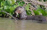 Giant river otter (Pteronura brasiliensis) feeding on fish in the Cuiaba River, Pantanal, Brazil.