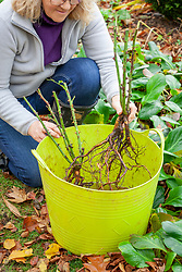 Planting bare root roses in autumn. Soaking in a tub trug before planting