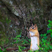 Portrait of chipmunk standing on hind legs in backyard environment.