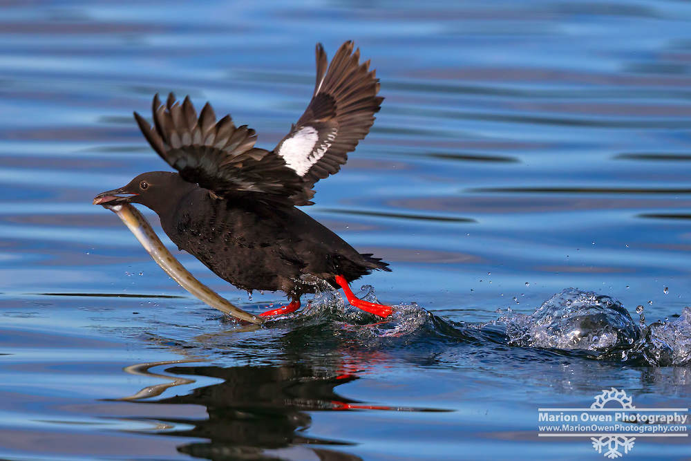 Pigeon guillemot takes off with a blenny fish in its beak